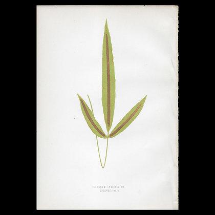 Blechnum longifolium Fern - Circa 1860 Print