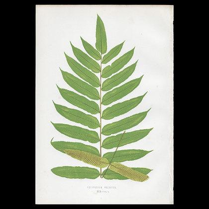 Polypodium palustre - Circa 1860 Print