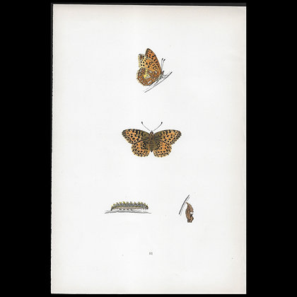 Queen of Spain Butterfly - Circa 1860 Print