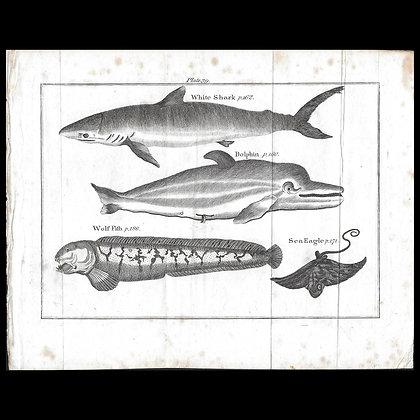 White Shark, Dophin, Sea Eagle and Wolf Fish - Circa 1790  Print