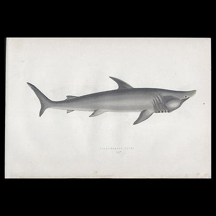 Broad Headed Gazer - Circa 1865 Print
