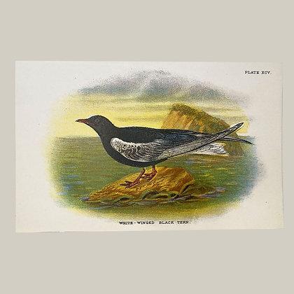White Winged Black Tern, Small Plate Print -1893