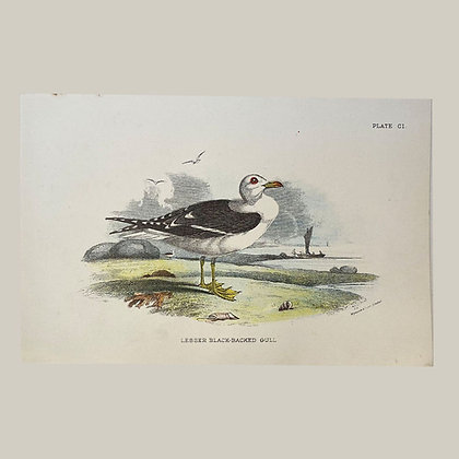 Lesser Blackbacked Gull, Small Plate Print -1893