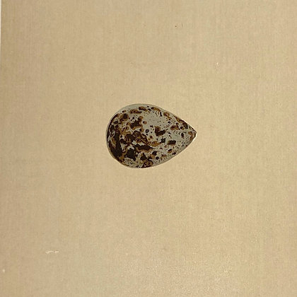 Brown Snipe, Egg Print Circa 1890