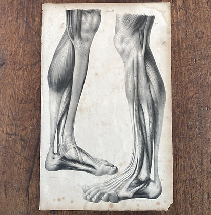 Large Lithograph Print Showing Muscles in the Back of the Lower Leg -  Plate 37