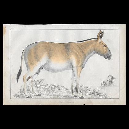 Ass - 1858 Hand Watercoloured Print