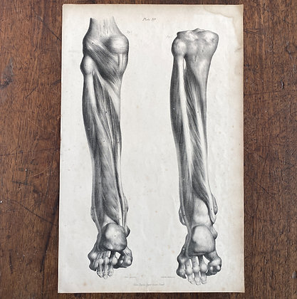 Large Lithograph Print Showing Muscles in the Back of the Leg -  Plate 39