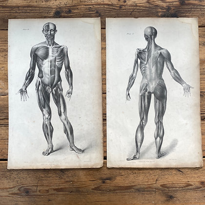 2 Large Lithograph Prints Showing Muscles of the Human Body -  Plate 49 and 50