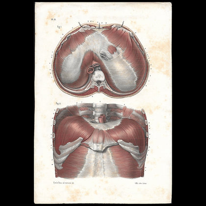 Plate 51 - Muscles of the Upper Diaphragm. Original 1847 Print.