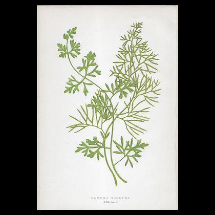 Ceratopteris thalictroides - Circa 1860 Print