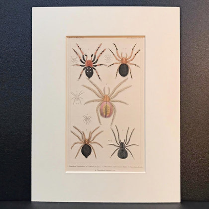 Arachnid Plate 7B - Hand Coloured Circa 1860