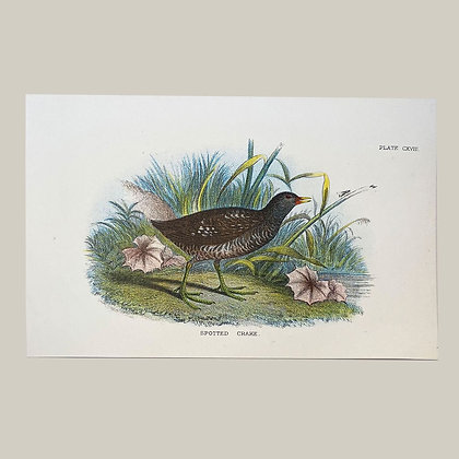 Spotted Crake, Small Plate Print -1893