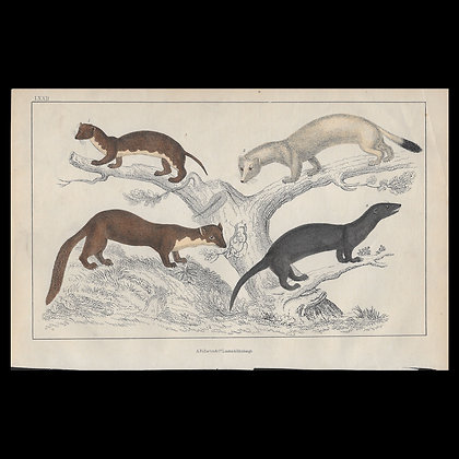 Weasels - 1858 Hand Watercoloured Print
