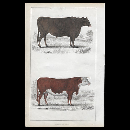 Domestic Cattle - 1858 Hand Watercoloured Print