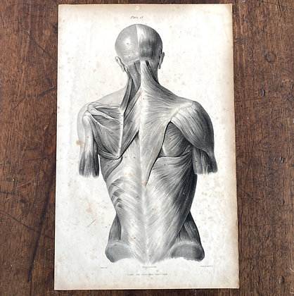 Large Lithograph Print Showing Dorsal Muscles -  Plate 41