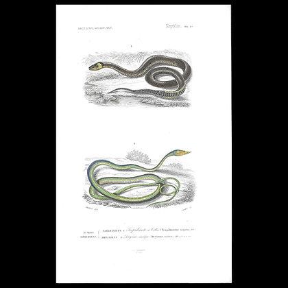 Tropidonotus torquatus and Dryinus nastus - 1863  Print