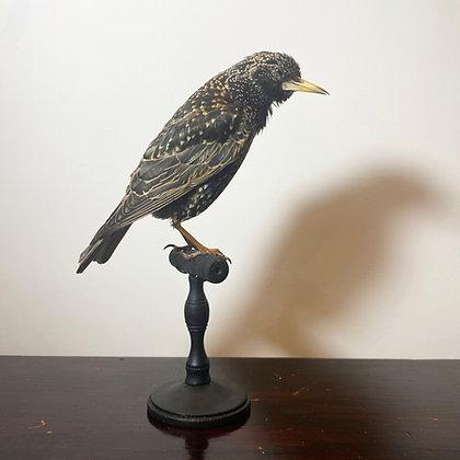 Taxidermy Starling