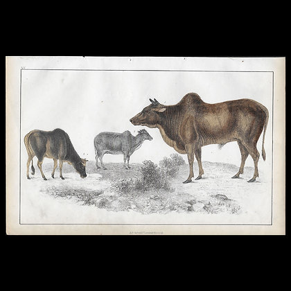 Oxen - 1858 Hand Watercoloured Print