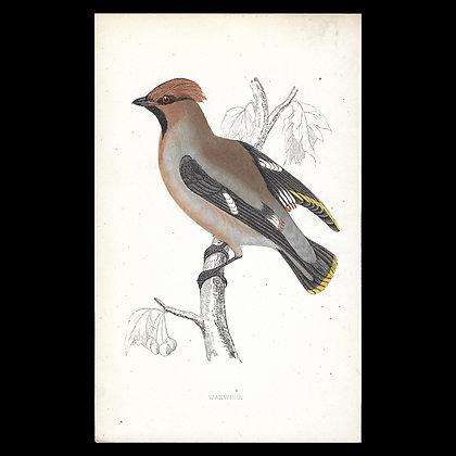 Waxwing - Handcoloured Print Circa 1880