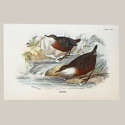 Dipper, Small Plate Print -1893