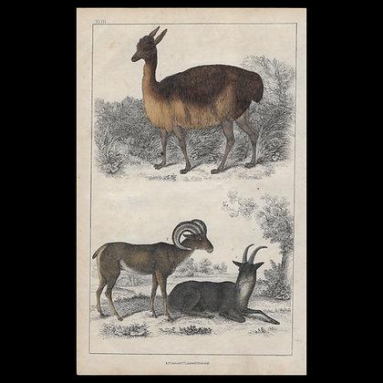 Llama & Merino - 1858 Hand Watercoloured Print