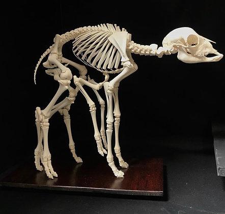 Eight Legged Lamb Skeleton