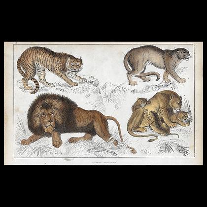 Big Cats - 1858 Hand Watercoloured Print