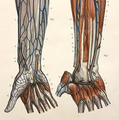 Veins of Forearm - Original Mounted 1847 Print