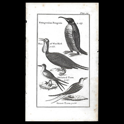 Man of War Bird - 1792 Copper Plate Engraving P74