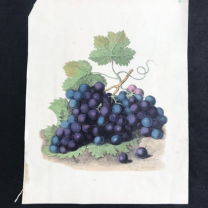 CLEARNACE - Grapes, Hand Coloured Print Circa 1870
