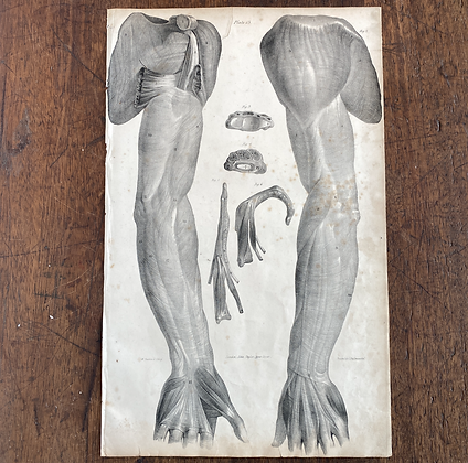 Large Lithograph Print Showing Muscles of Arm -  Plate 13