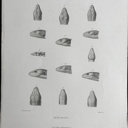 Cyclosauriens - 1861 Plate 21 B