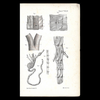 Plate 62 - Texture of Vessels . Original 1847 Print.