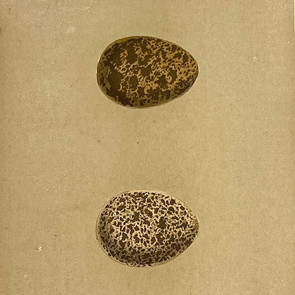 Red Grouse, Egg Print Circa 1890
