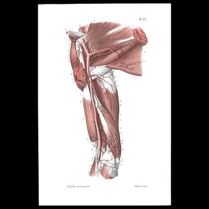Plate 15 - Cephalic vein . Original 1847 Print.