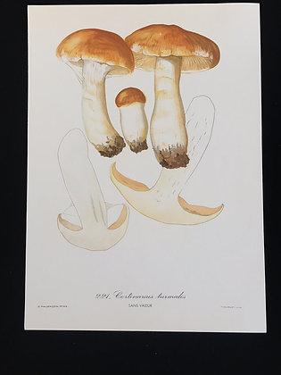 Cortinarius turmalis Fungus