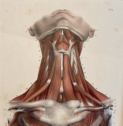 Muscles of the Neck - Original Mounted 1847 Print