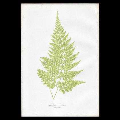 Davallia chaerophylla - Circa 1860 Print