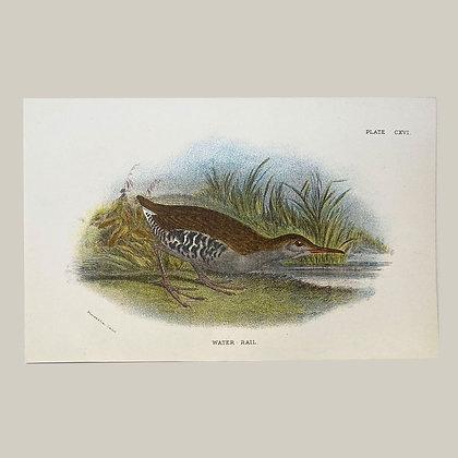 Water Rail, Small Plate Print -1893