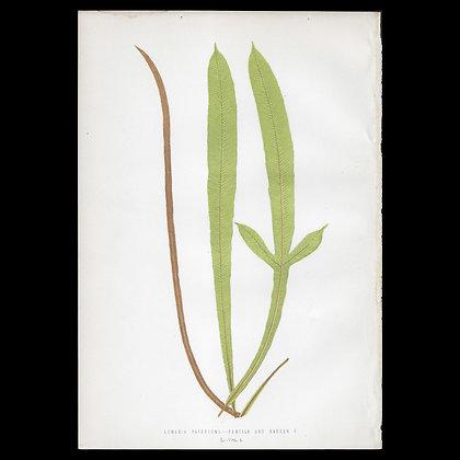 Lomaria patersoni - Circa 1860 Print