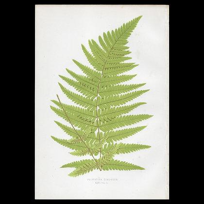 Polypodium concinnum - Circa 1860 Print