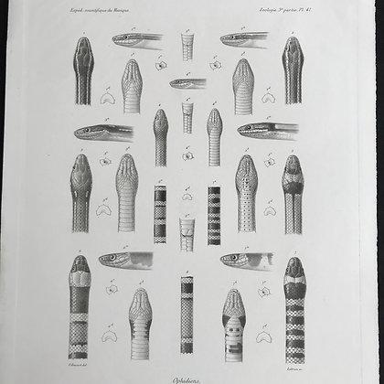 Ophidiens - 1861 Plate 41