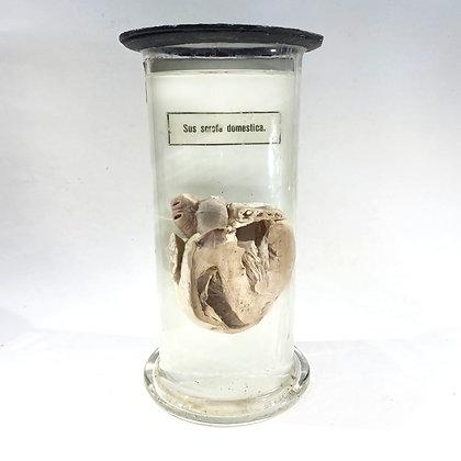 Domestic Pig Heart (Sus scrofa domesticus) - Antique Wet Specimen