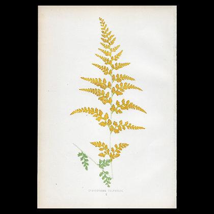 Cymnocramma sulphurea - Circa 1860 Print