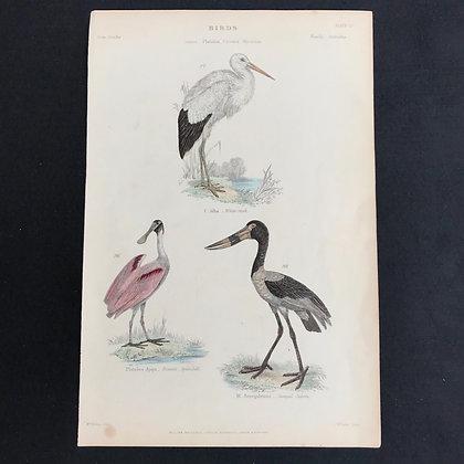 Red Spoonbill etc Handcoloured Print circa 1840