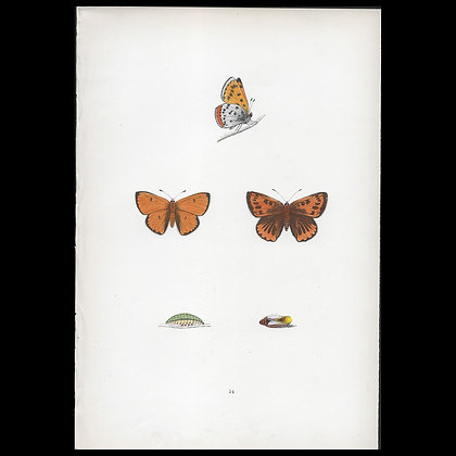Large Copper Butterfly - Circa 1860 Print