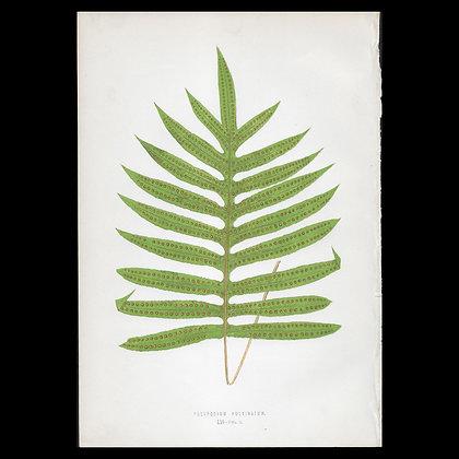 Polypodium pulvinatum - Circa 1860 Print