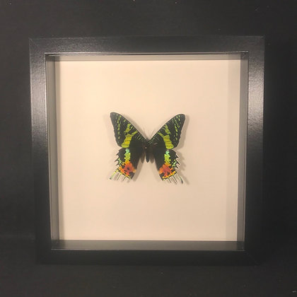 Framed Sunset Moth (Chrysiridia rhipheus)