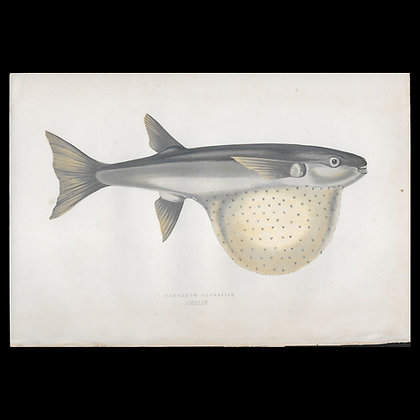 Pennant's Globefish - Circa 1865 Print
