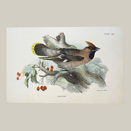 Waxwing, Small Plate Print -1893